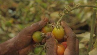 Le Sénégal voit son avenir dans l'agriculture - focus